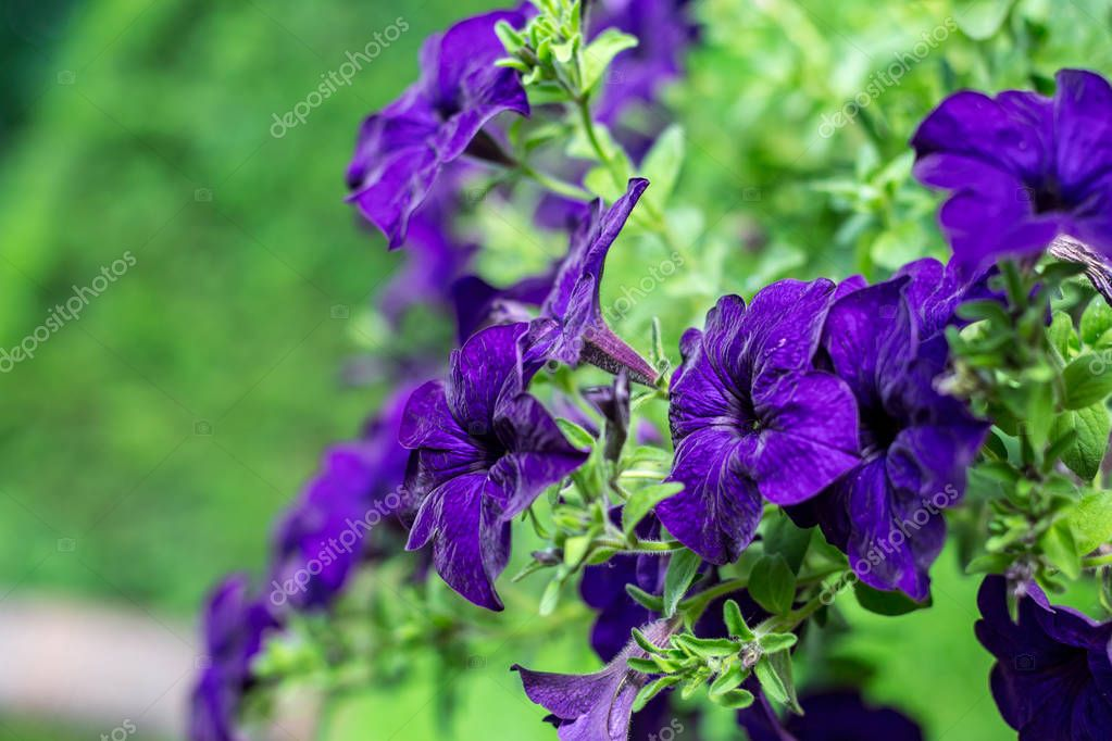 Purple petunia blossoms, blurred green background