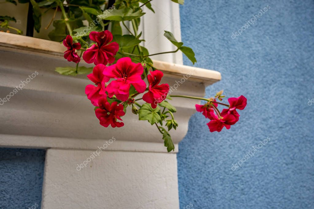 Red geranium in front of blue wall, white window