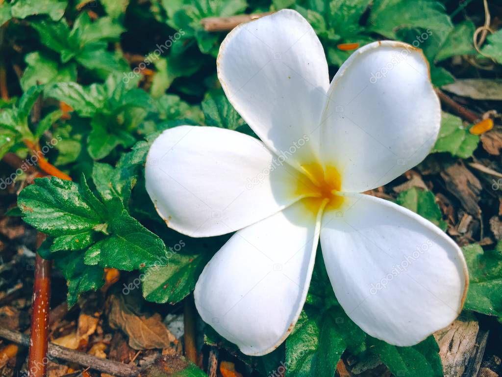 Frangipani Flower White Relax