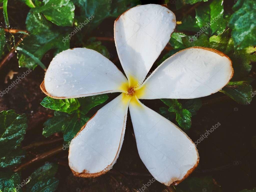 Frangipani Flower White Vintage