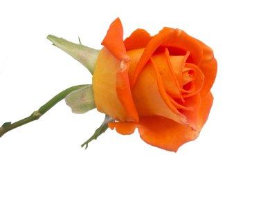 beautiful rose isolated on the white background