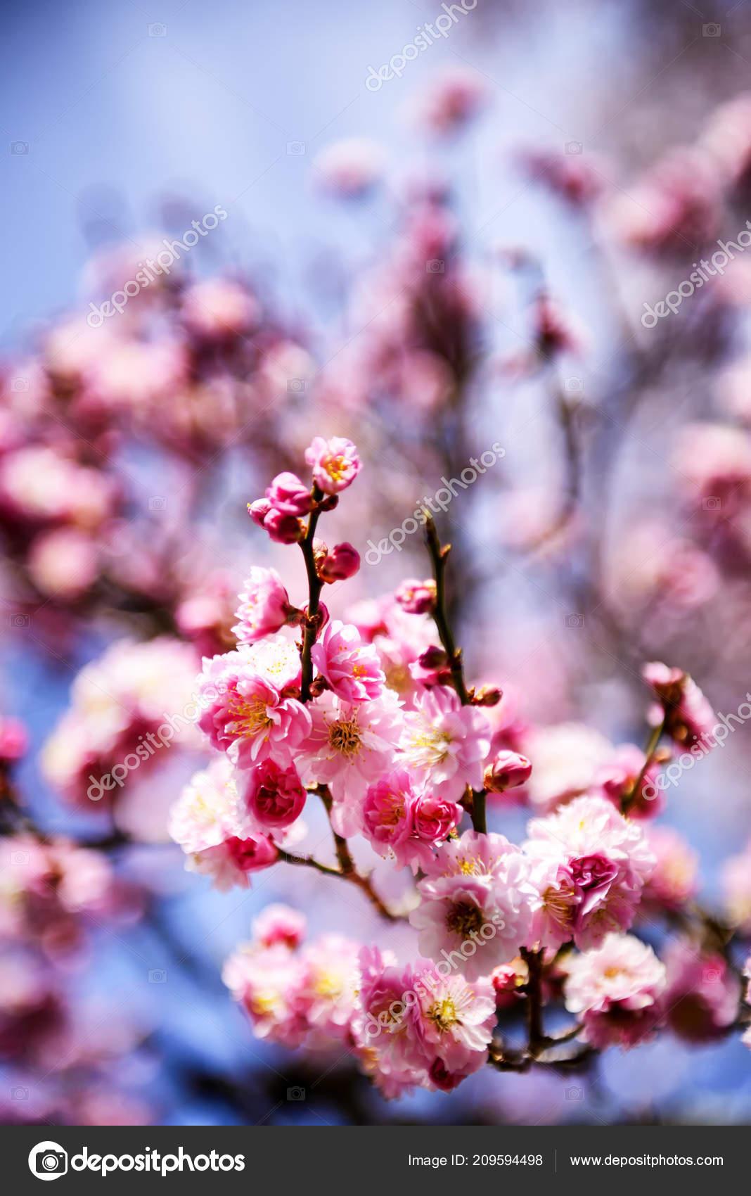 Sakura Fleur Printemps Tokyo Japon Photographie 501room C 209594498