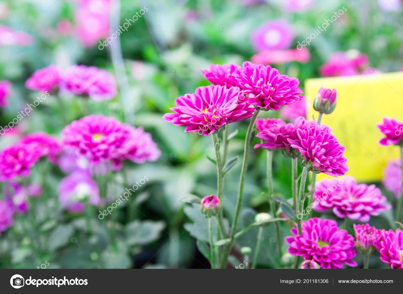 Pink Gerbera Daisies Flowers Spring Flowers Sunset Stock Photo