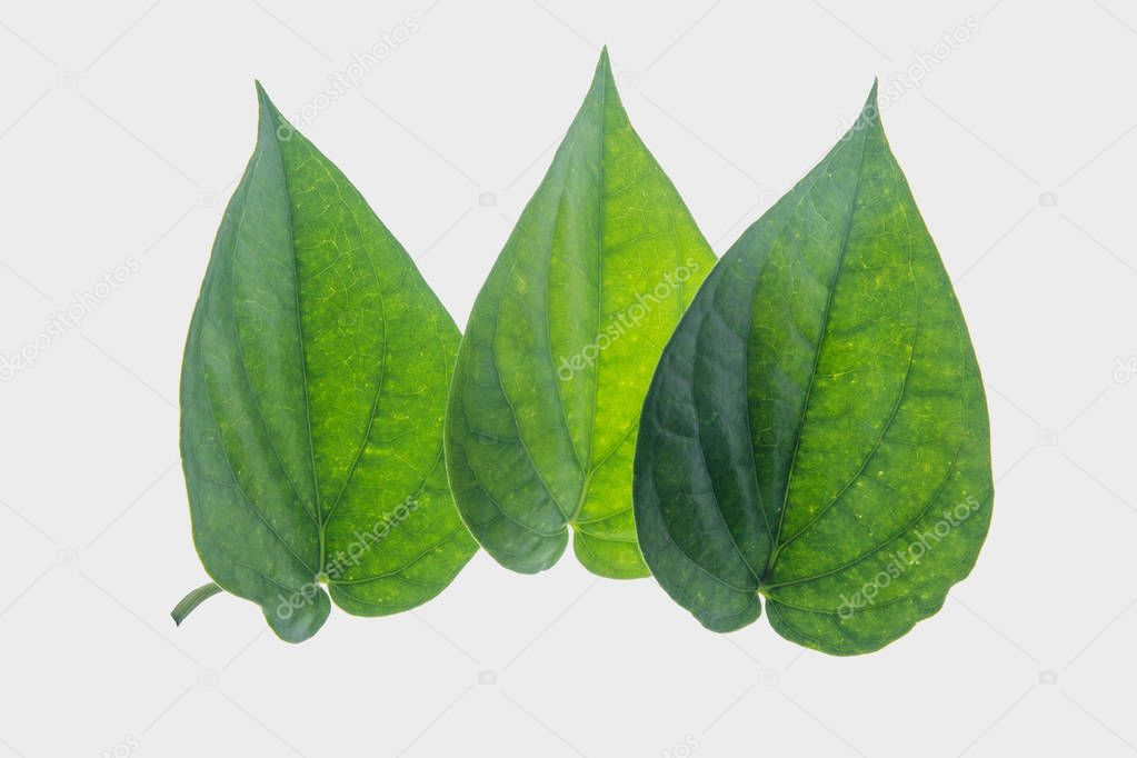 Green betel leaf isolated on the gary background with clipping path.