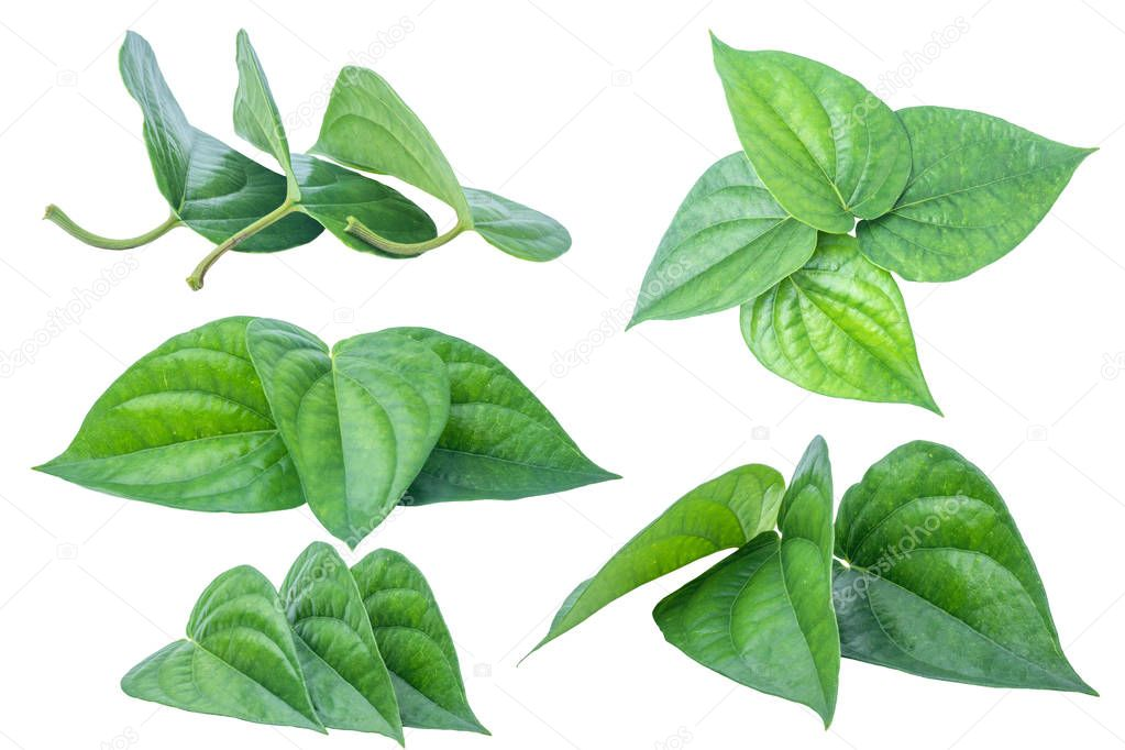 Green betel leaf isolated on the white background with clipping path.