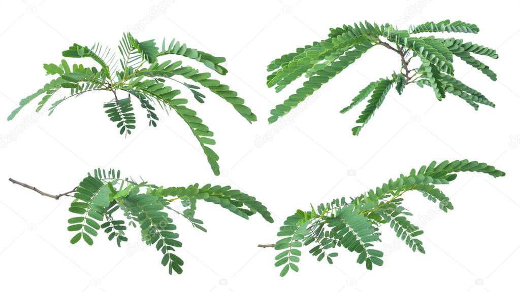 Tamarind leaves isolated on white background with clipping path.