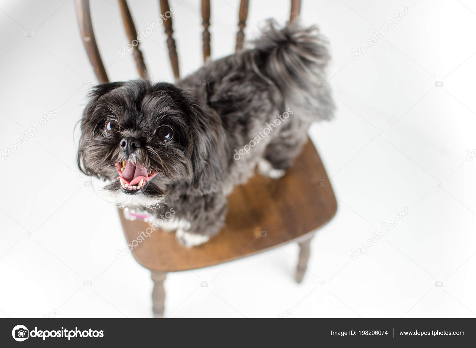 Adorable Miniature Shih Tzu Puppy Dog White Black Short Fur Stock