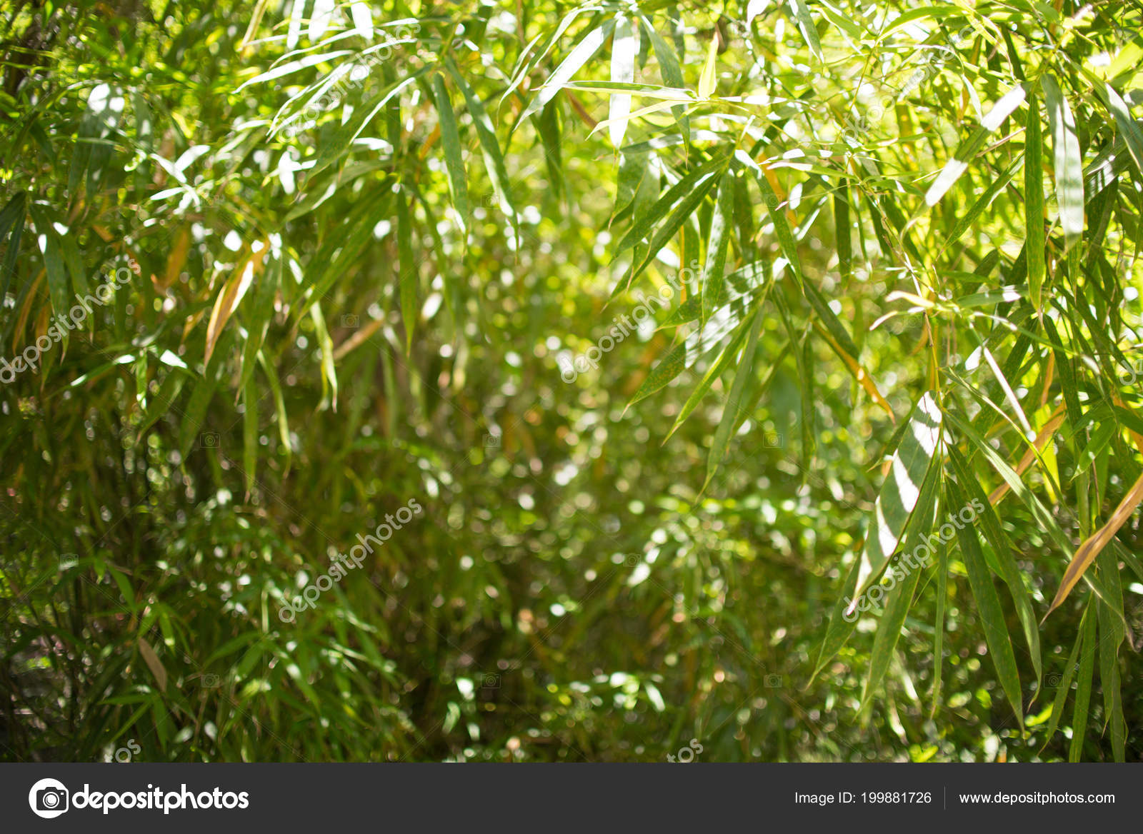 Bamboos Forest Background Natural Bamboo Stock Photo