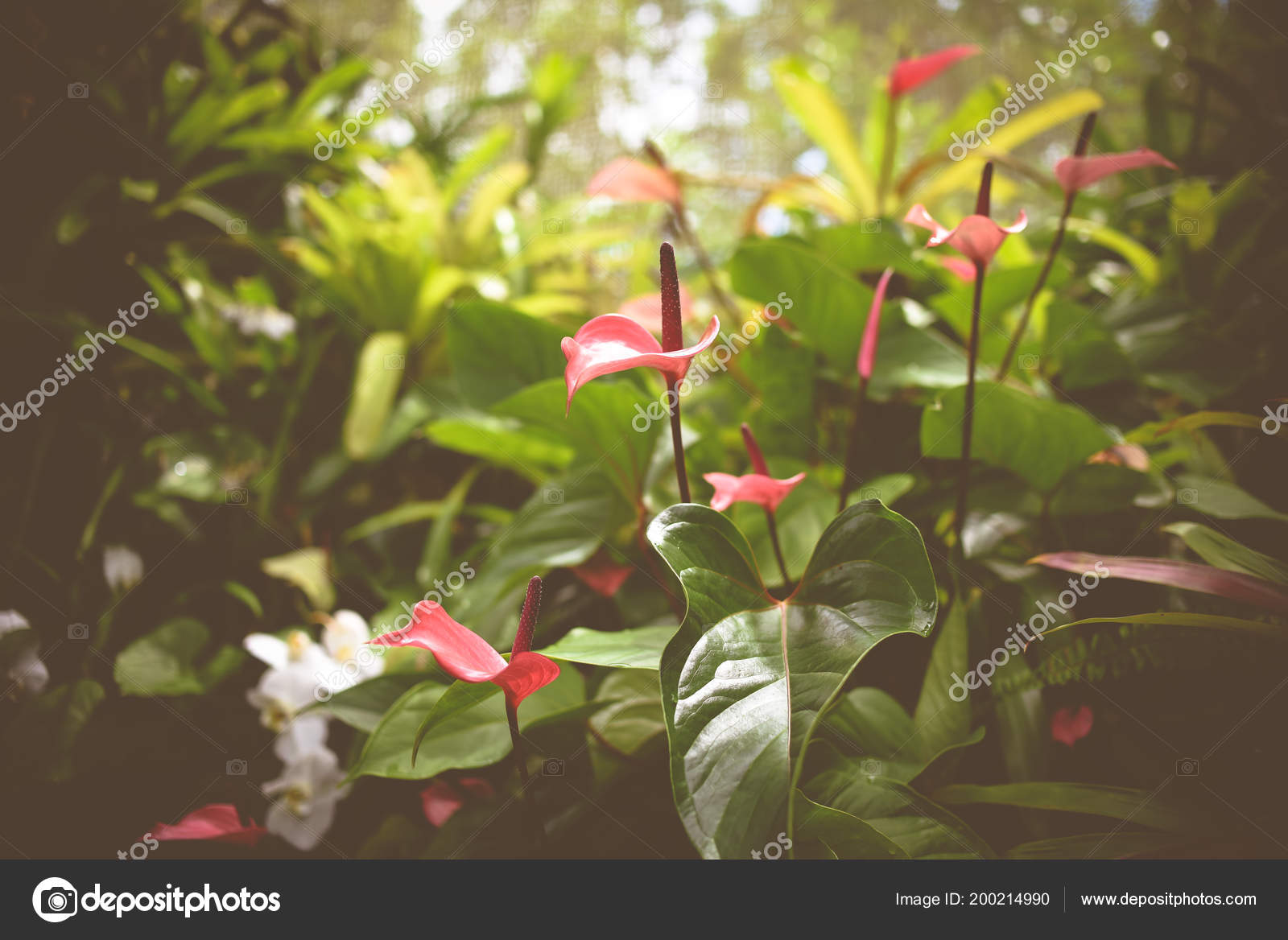 Lamingo lily flower tropical setting stock photo tanyakdesign lamingo lily flower tropical setting stock photo izmirmasajfo