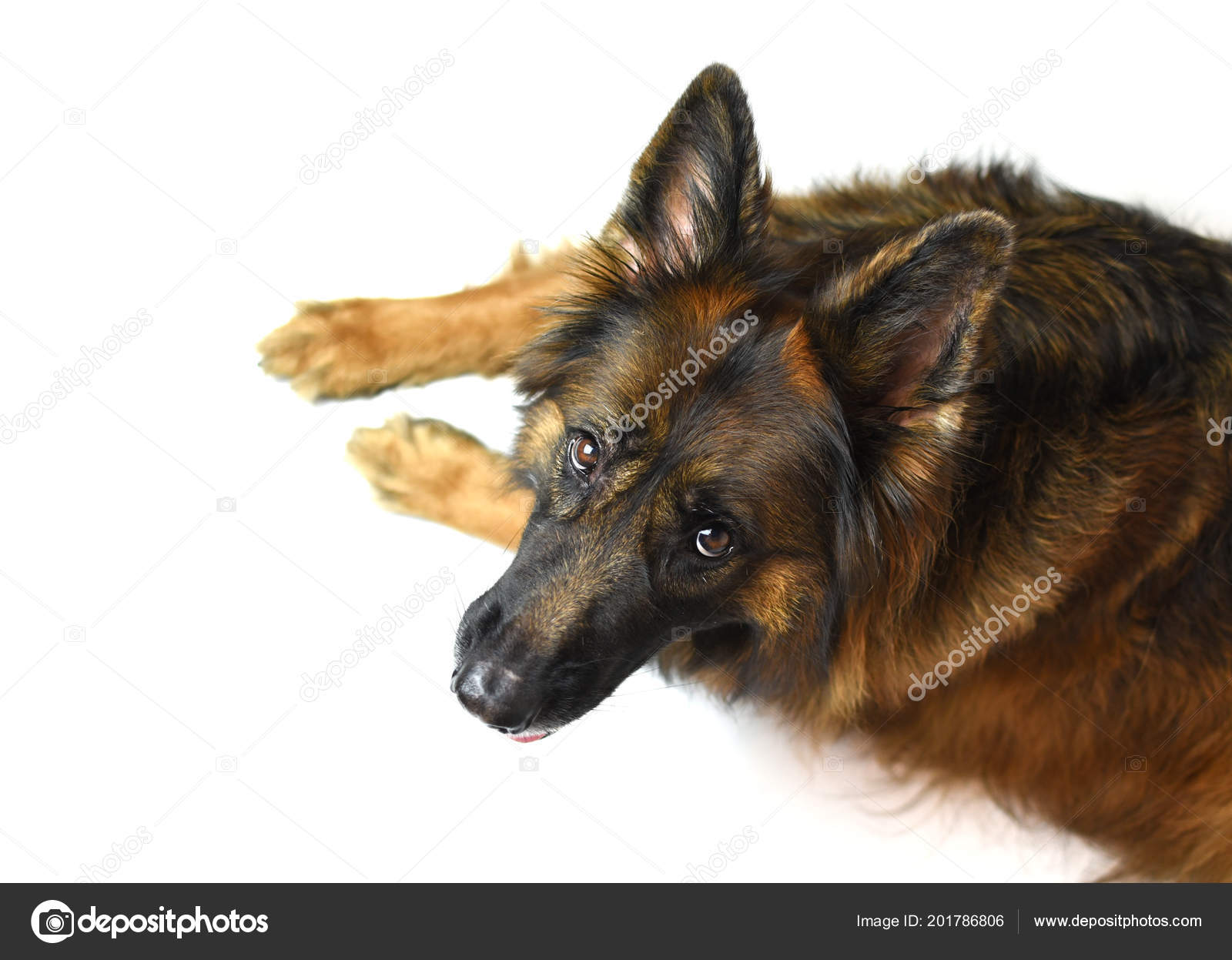 Long Coat German Shepherd Red Black Isolated White Background