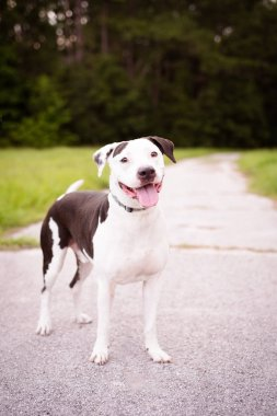 Portrait of American Staffordshire Terrier outside in a natural hiking environment