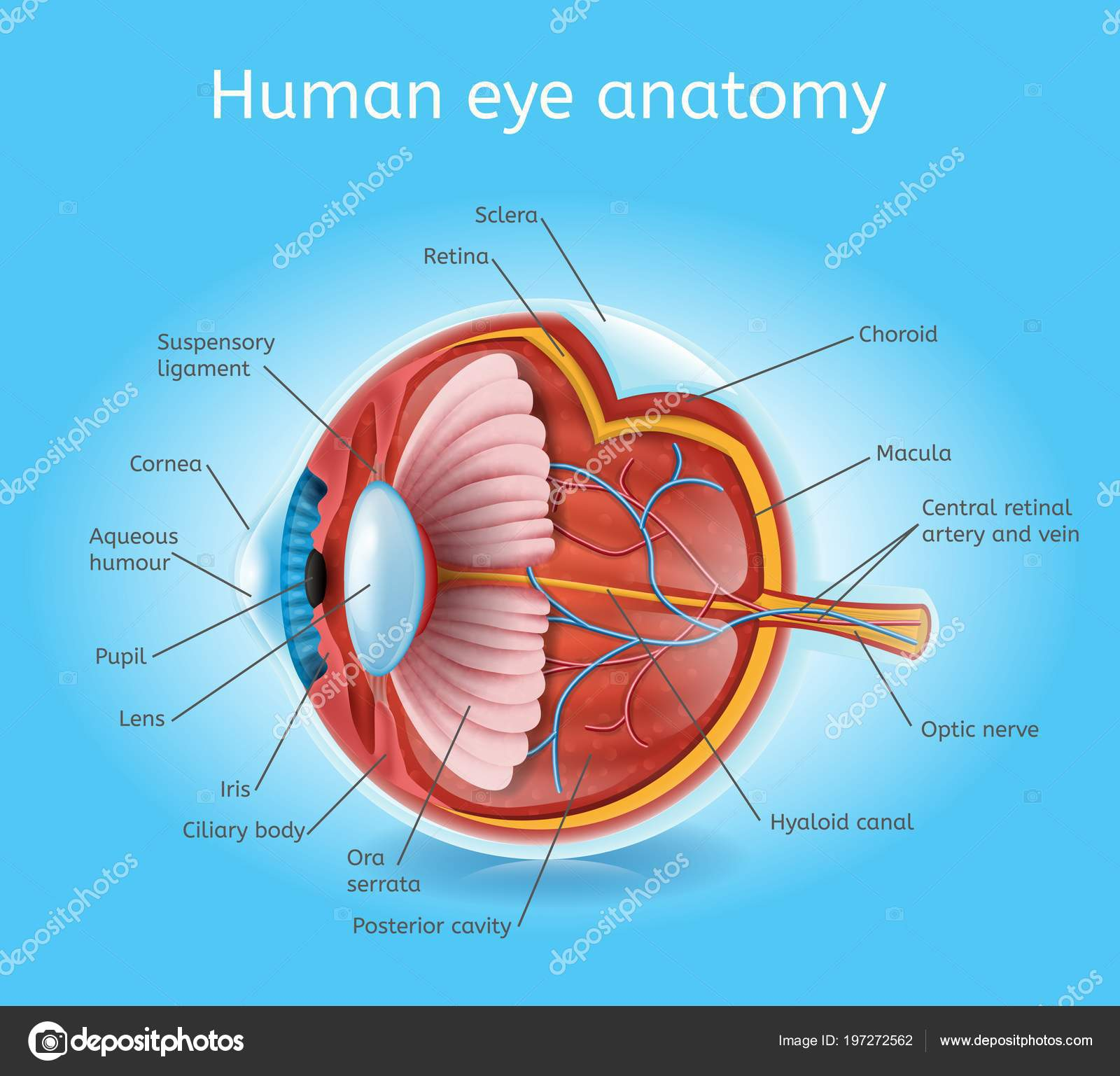 Human Eye Anatomy Detailed Cross Section View Vector Scheme Layers