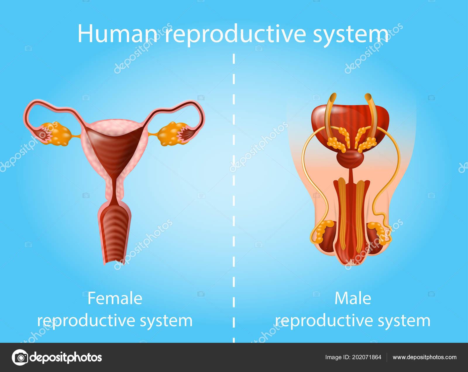 Human Reproductive System Vector Anatomy Scheme Stock Vector