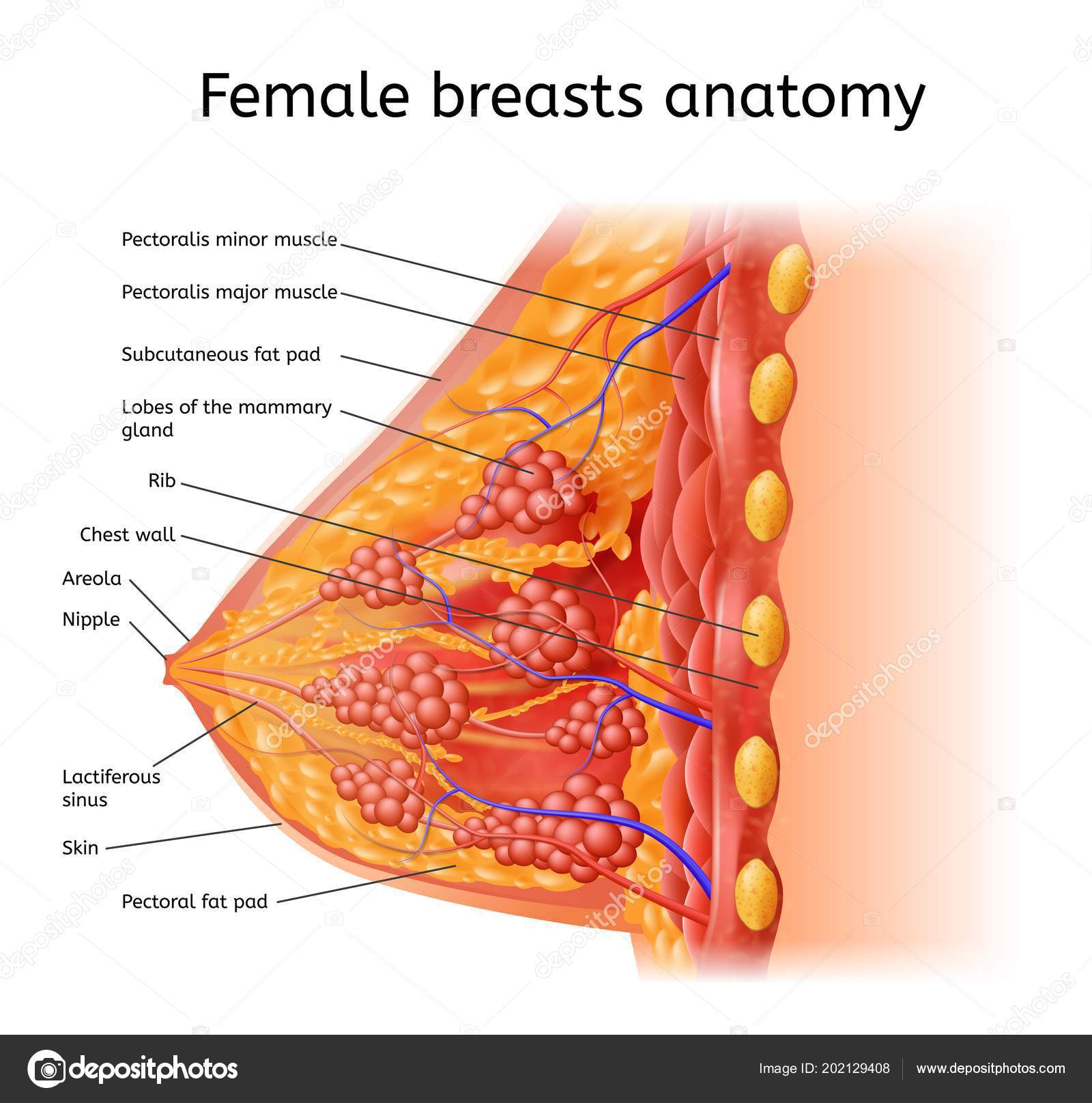 Label Of The Human Body Human Female Brest Anatomy Medical