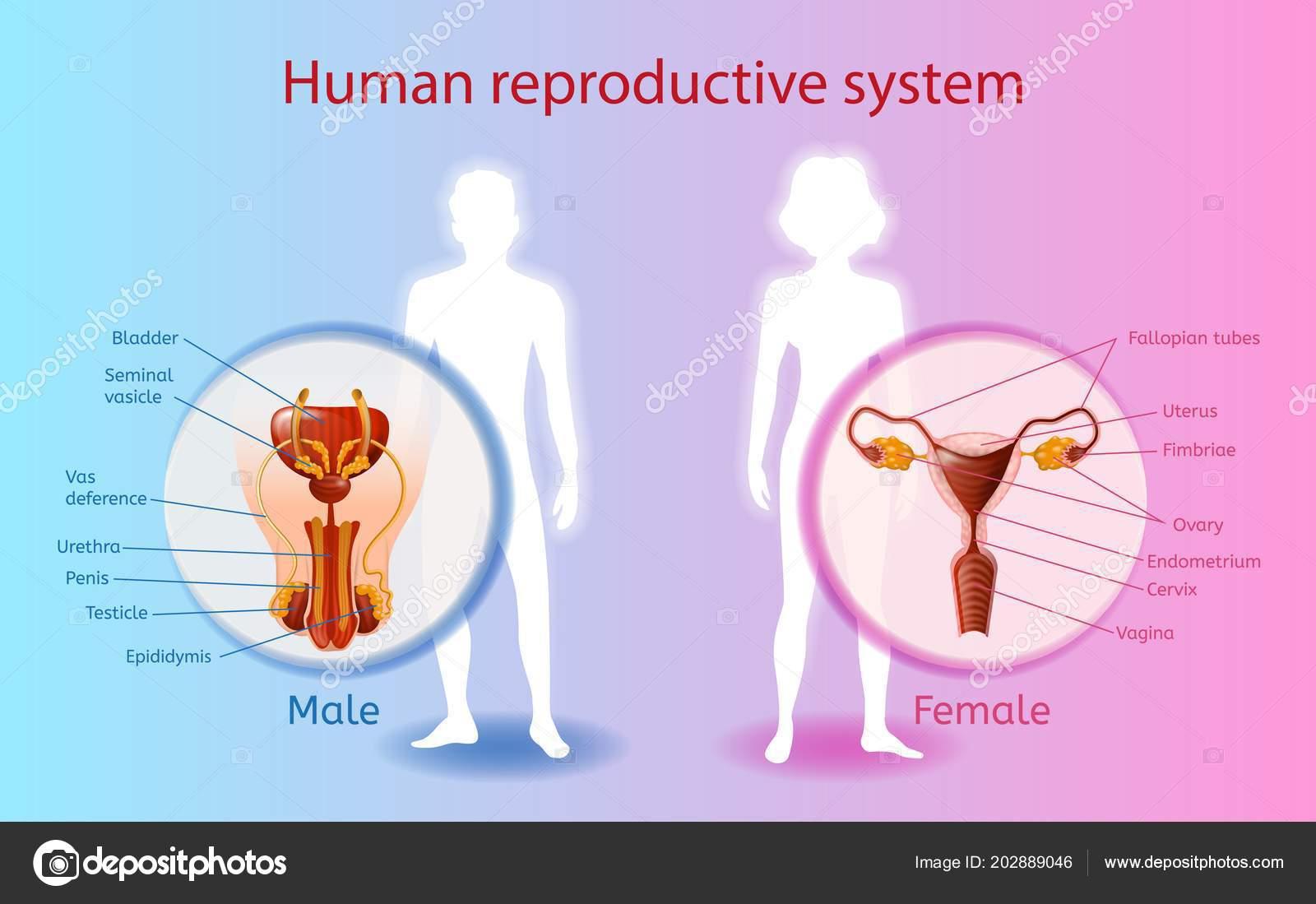 Sistema reproductor humano Vector gráfico científico — Archivo ...