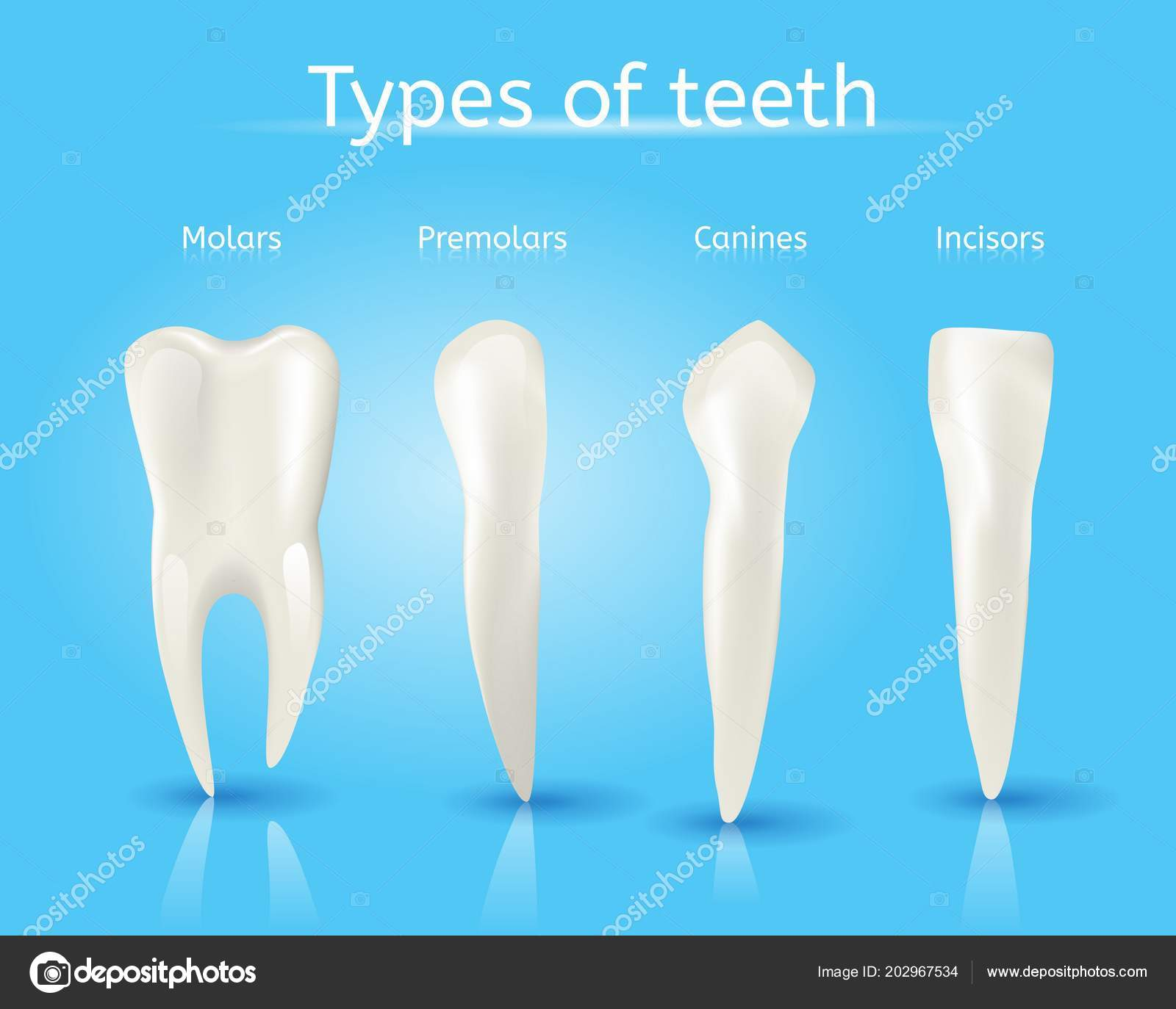 Types Of Human Teeth Realistic Vector Concept Stock Vector