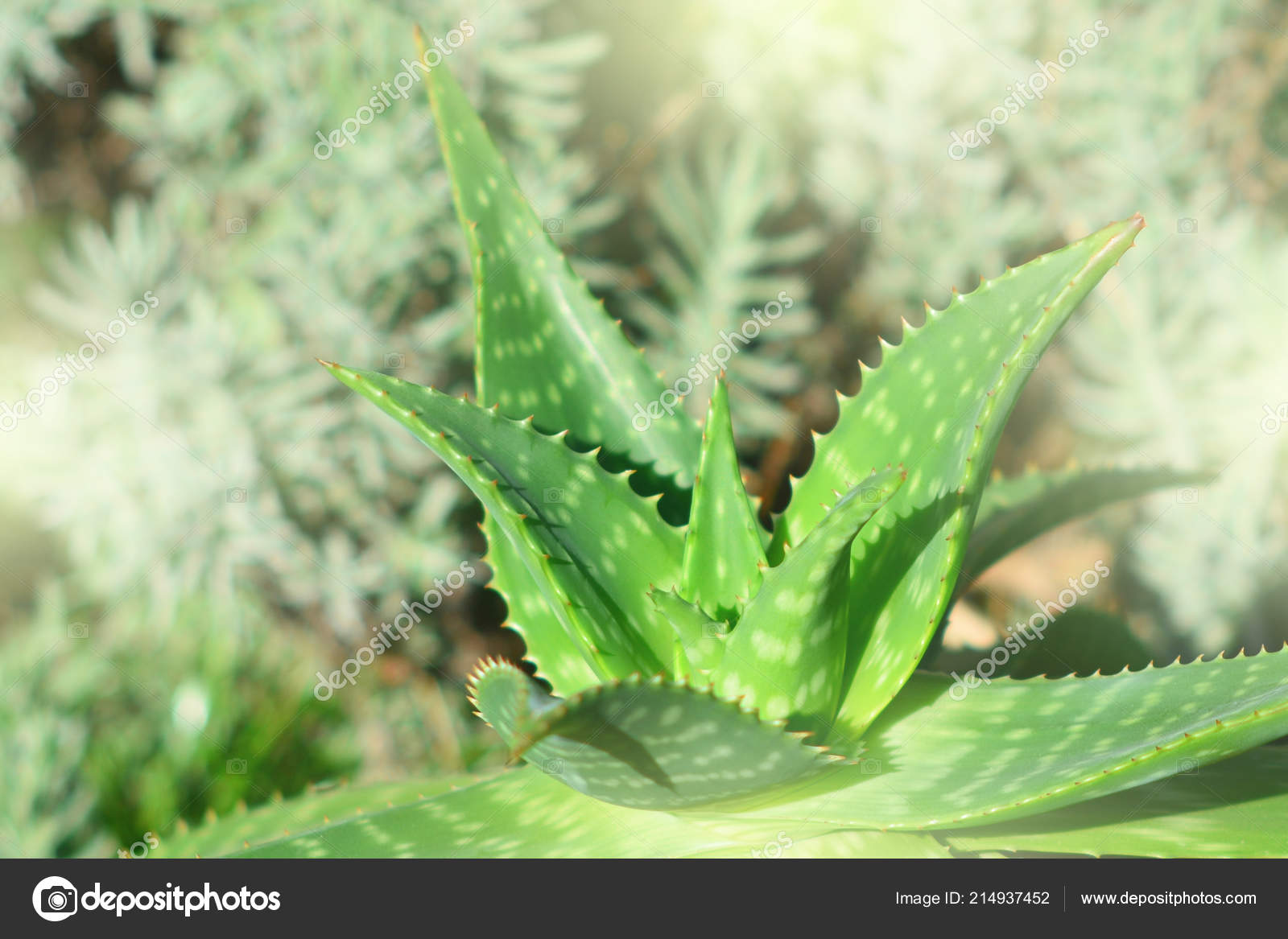 Aloe Vera Plant Natural Healthy Ingredient Stock Photo C Charmoment 214937452