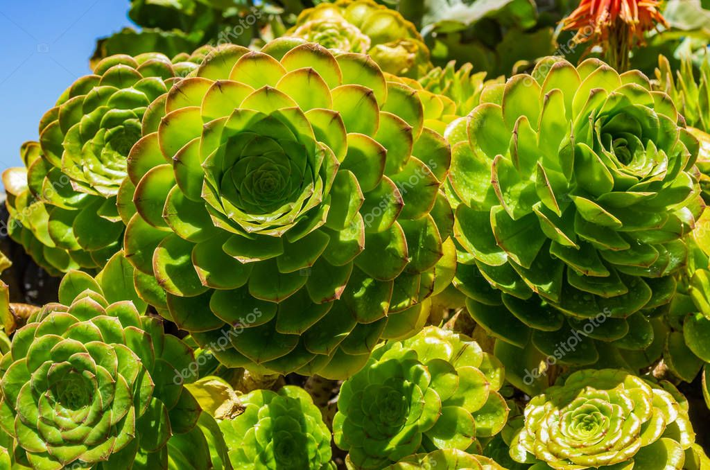 Close-Up of succulent plants, Aeonium arboreum, La Palma