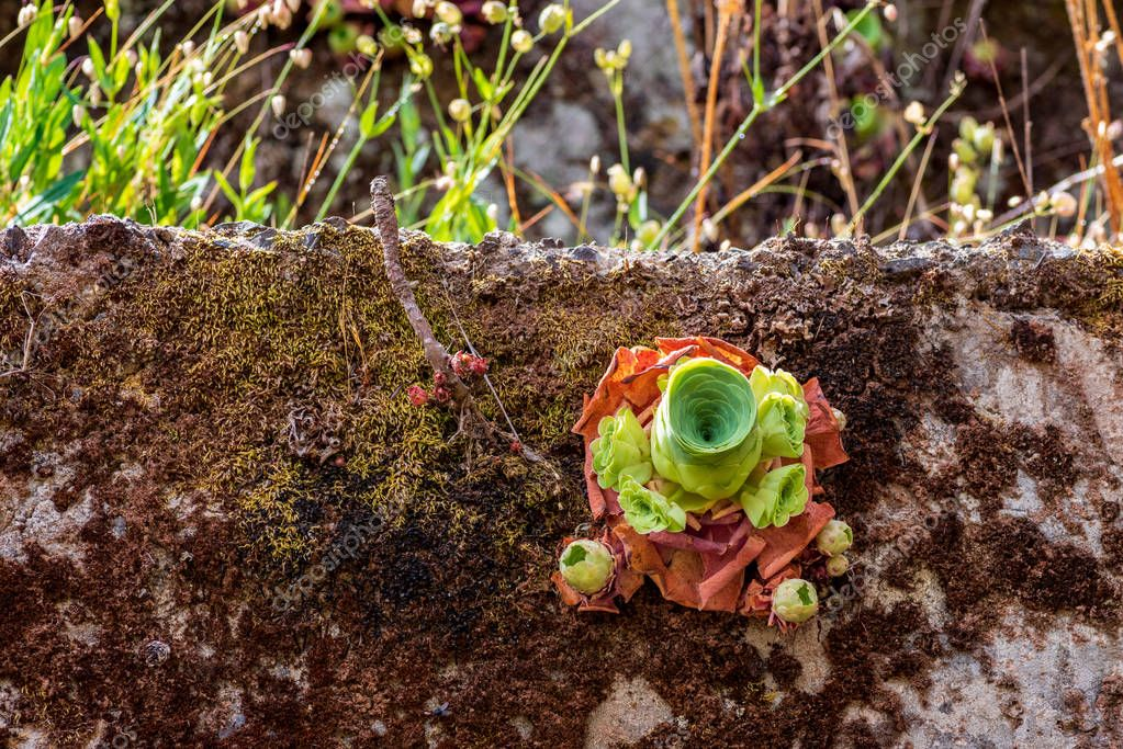 Single succulent plant, Aeonium canariense, on a moss covered concrete wall