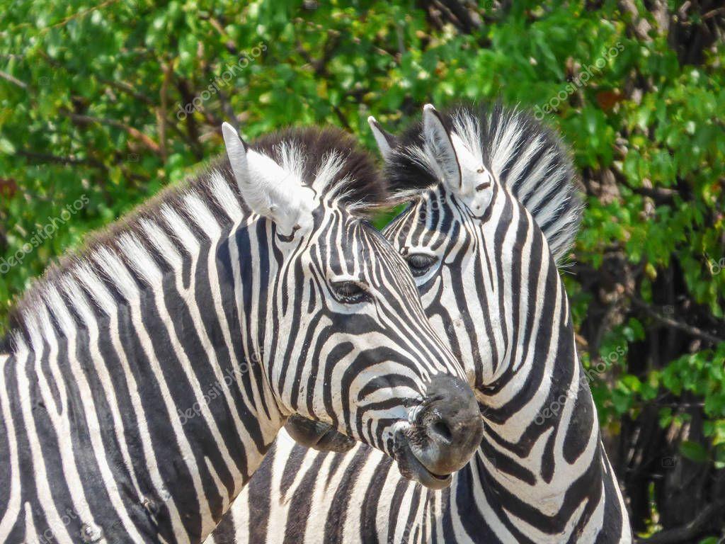 African zebra in natural habitat, tropical landscape, savanna, Botswana