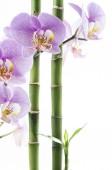 Spa fogalmi összetétele orchidea virág lila és a bambusz szára fehér alapon; a hely a szöveg
