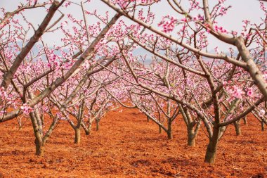 Red land and blooming Peach cherry on winter morning.