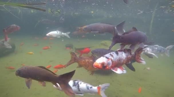 Koi ryb v bažinách nebo rybník