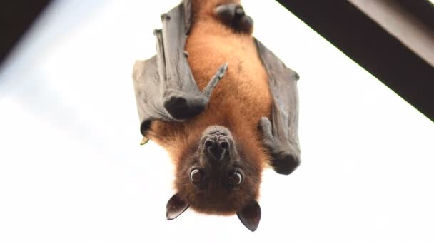 Indische Flughund auf dem Dach schaut in die Kamera - pteropus giganteus