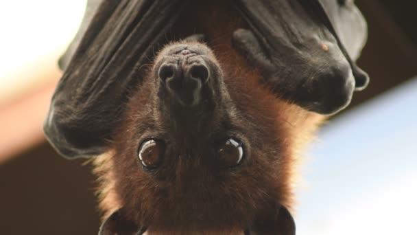 Indische Flughund hängt auf dem Dach und blickt in die Kamera - Pteropus giganteus