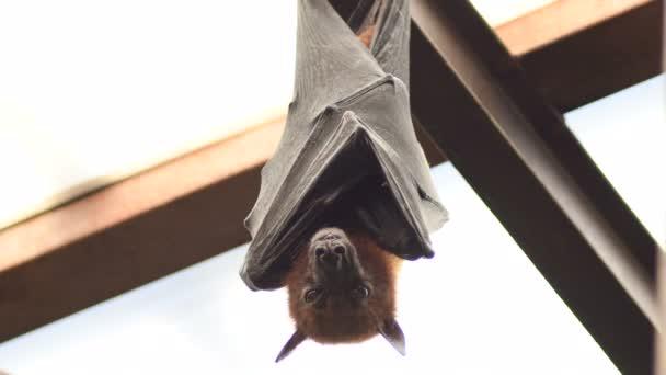 Indische Flughund hängt auf dem Dach - pteropus giganteus