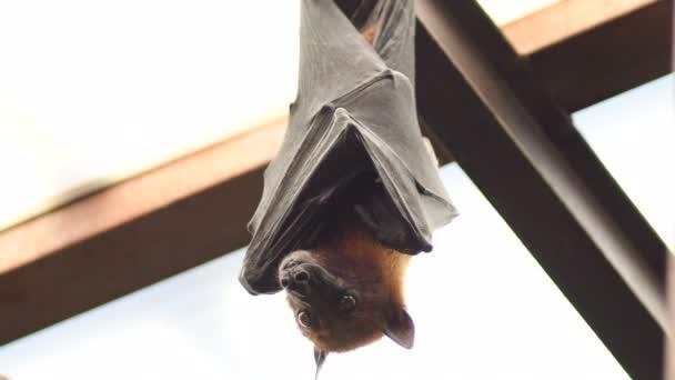 Fledermaus Indischer Flughund hängt auf dem Dach - pteropus giganteus