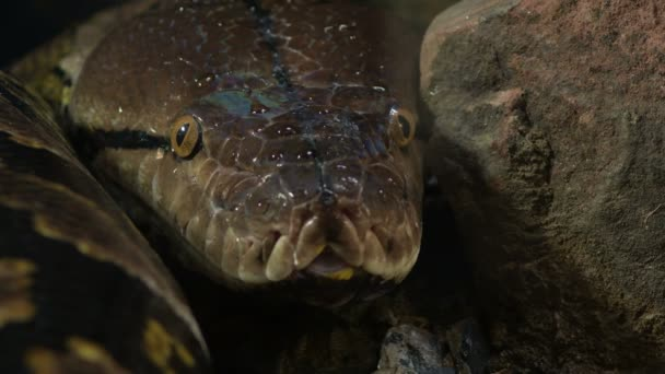 Head of Reticulated python snake in a terrarium
