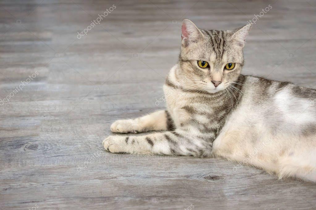 Gray cat sitting on wooden floor.