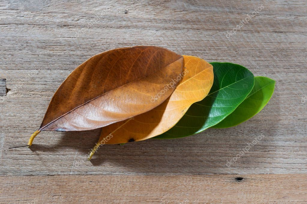 Leaves of different age of tree on wooden background, Seasonal concept colorful leaves with flat lay.