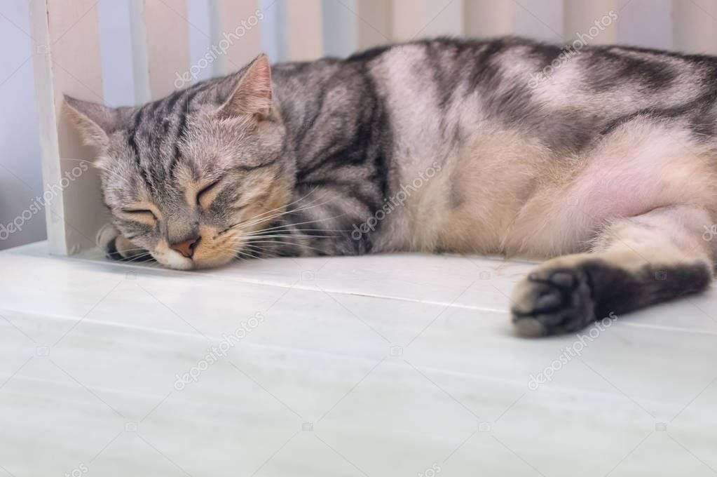 Gray cat sleeping on white wooden chairs.