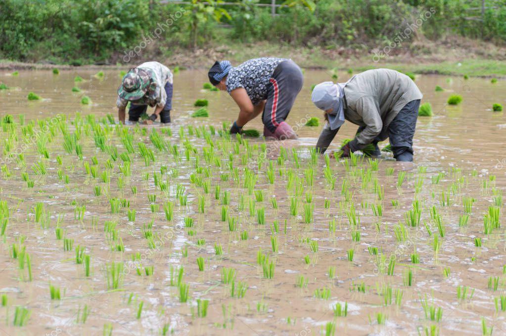 people planting ripe plants at organic rice field