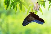 Fotografie Amazing moment about butterfly change form chrysalis.