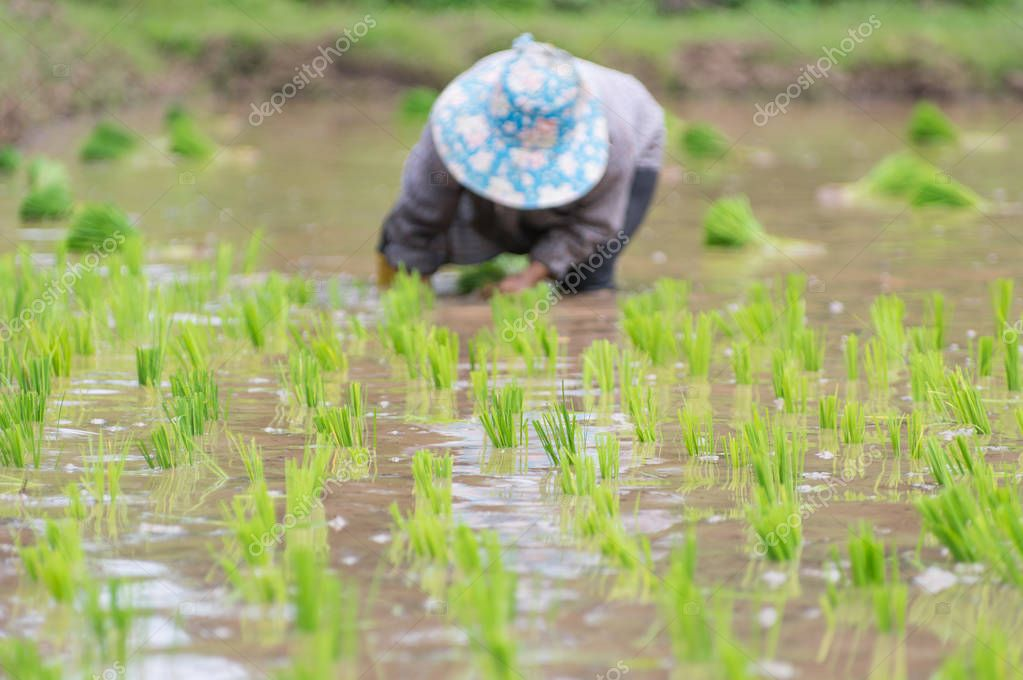 People planting rice plants in organic rice field