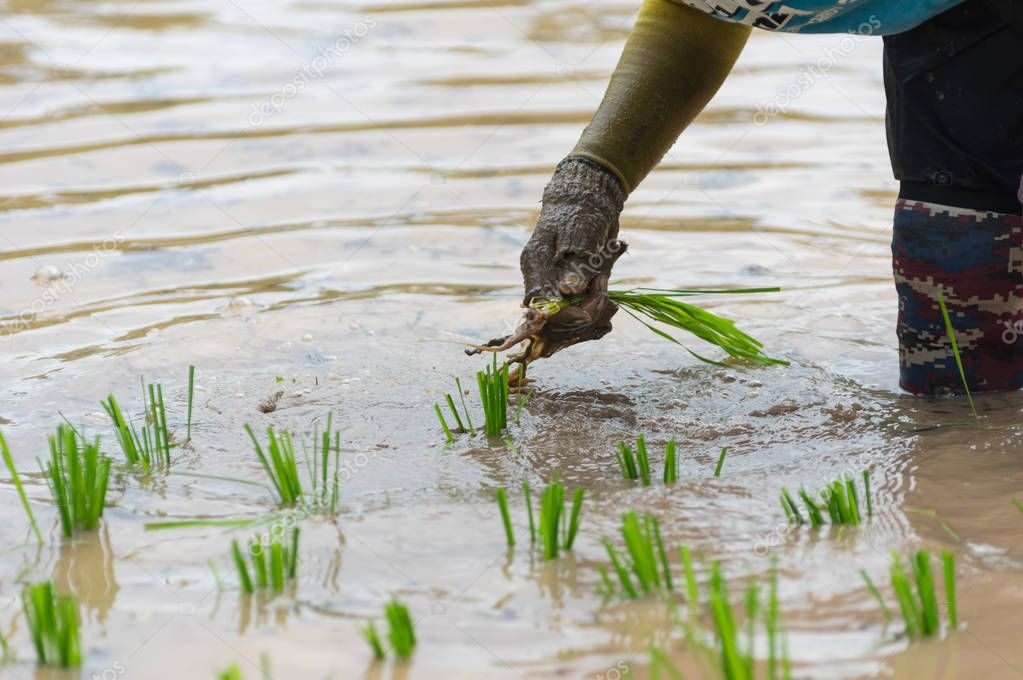 people planting rice plants in organic rice fields.