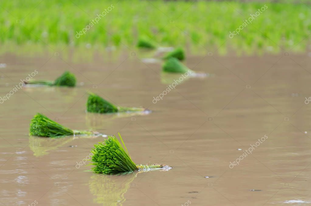 Rice seedlings are prepared for planting and ready to grow in organic rice fields.