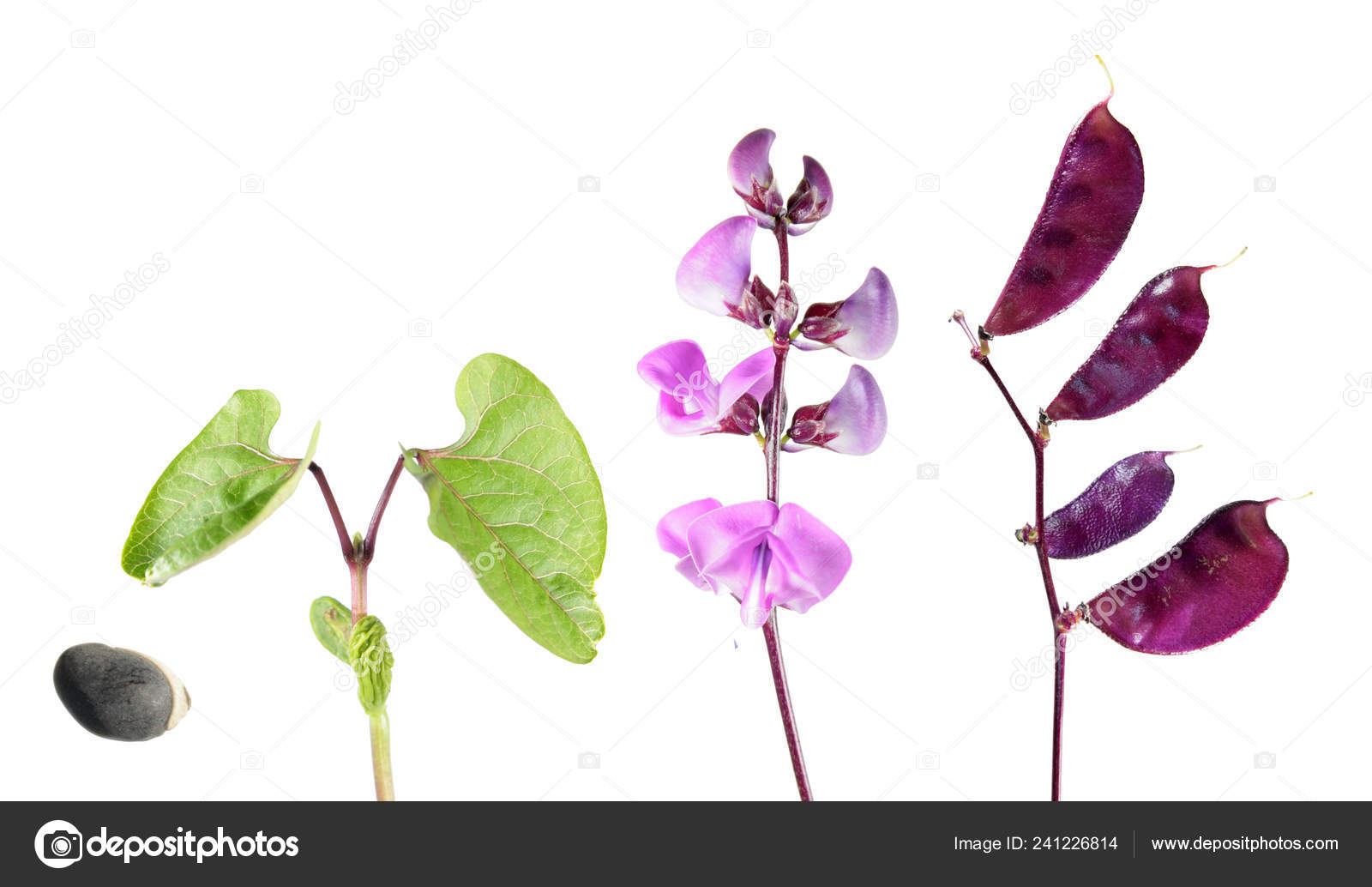 Life Cycle Hyacinth Bean Plant Isolated White Background