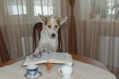 Portrét, chytrá bílý smíšené plemeno psa čtení velké knihy zatímco sedí na židli u stolu