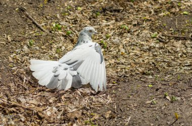 Pigeon taking sun bath at warm spring day