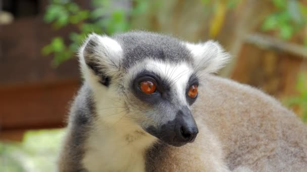 Detailní záběr lemura portrét v přírodě je to velké pěti primátů a nejuznávanějších lemur kvůli prstencové ocasem dlouhým, černé a bílé.