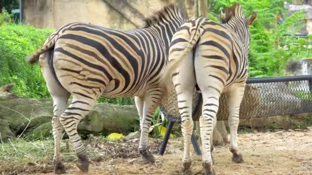 Close-up záběrů zebra hýždí, které film ocas a zpět při jídle.