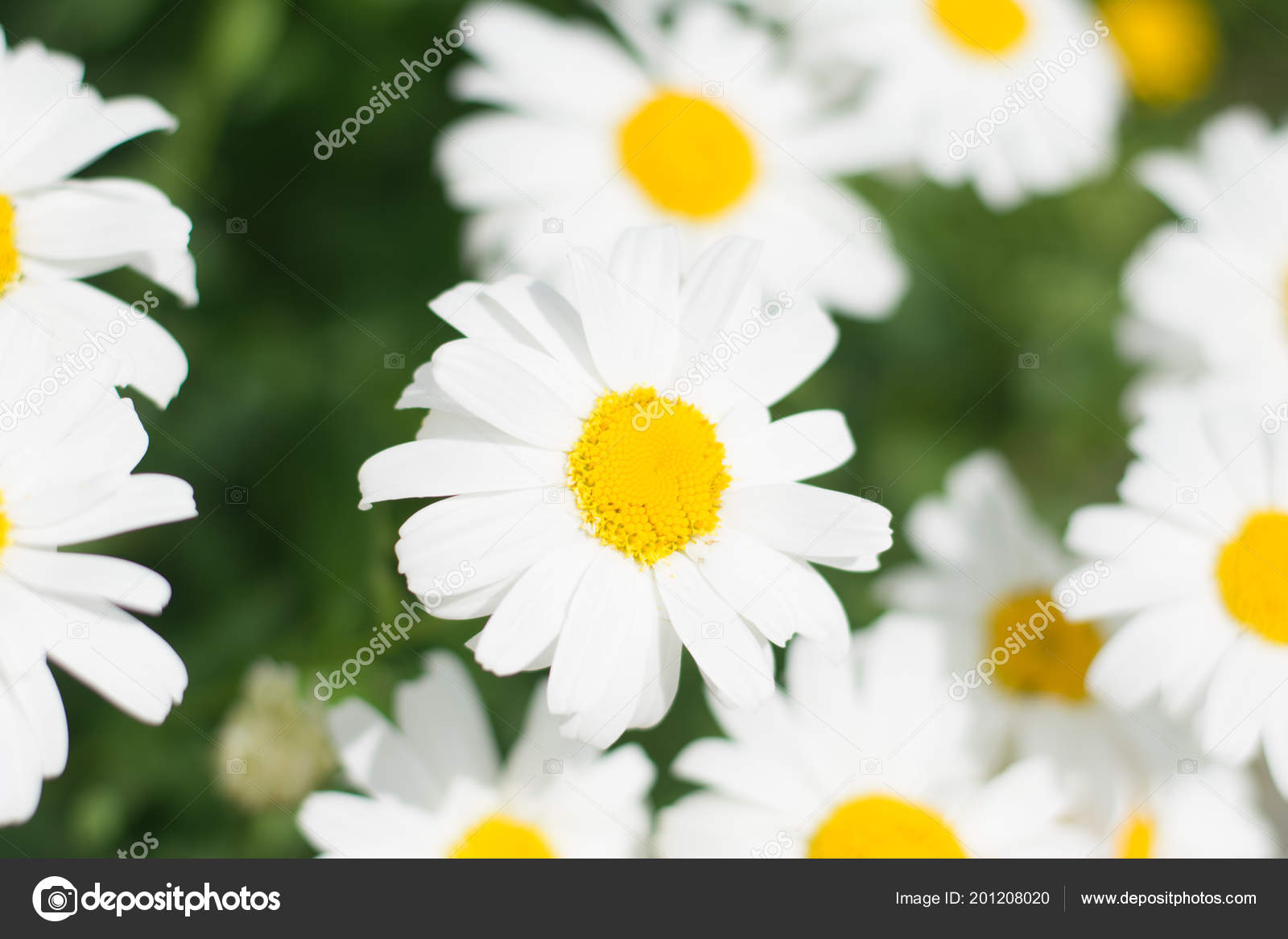 Field full daisies green leaves one focus stock photo lucyrock a field full of daisies with green leaves one in focus photo by lucyrock izmirmasajfo