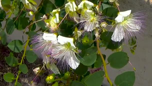 Krásné detaily bílý kapary rostlina s větve s listy a květy, pupeny a plody s fialovou barvami pistils. Selektivní fokus.