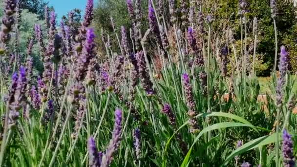 Lavender bushes closeup. Gardens with the flourishing lavender. Bees fly among the flowers