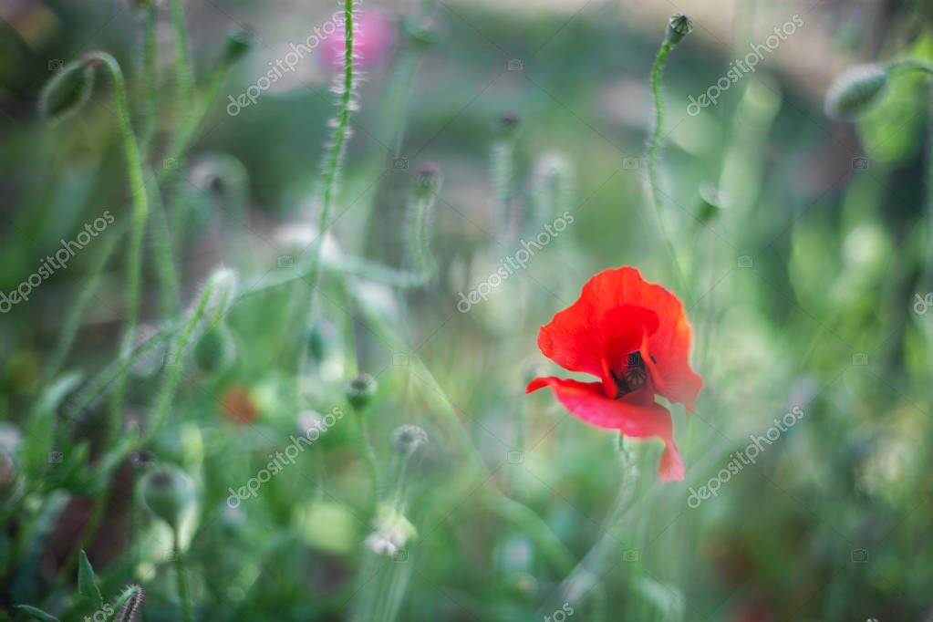 poppies, stalks, buds and flowers close up, green grass
