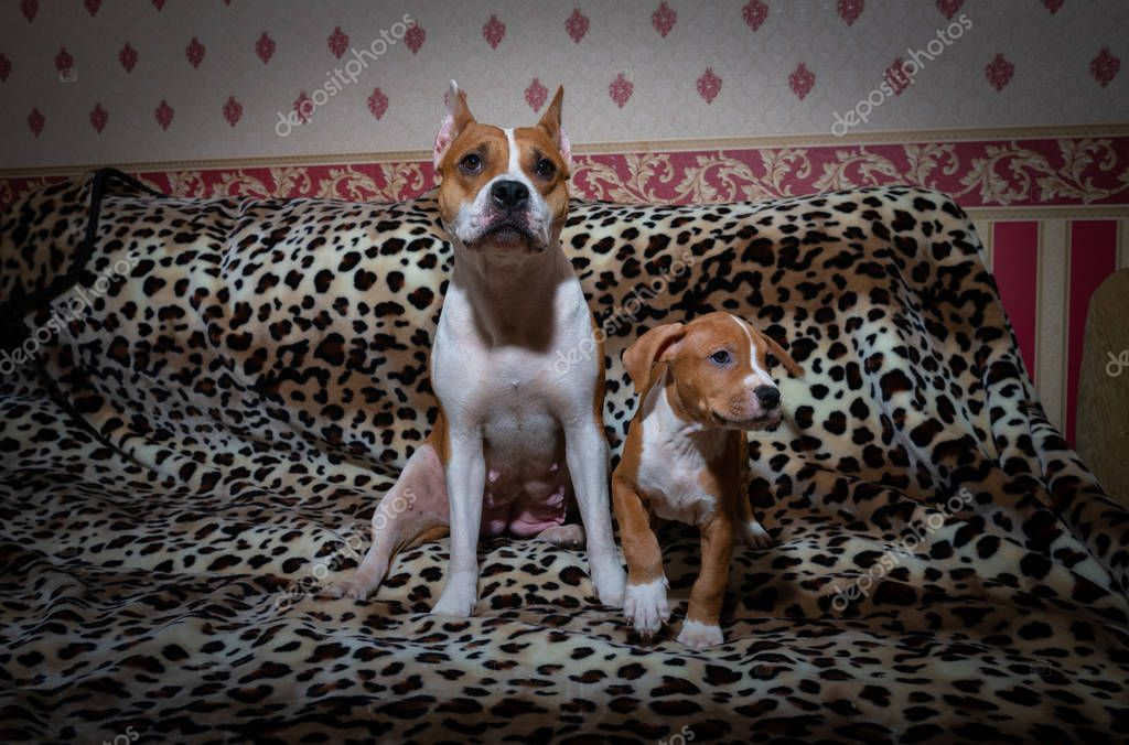 Nice american staff terrier rusty pets dog